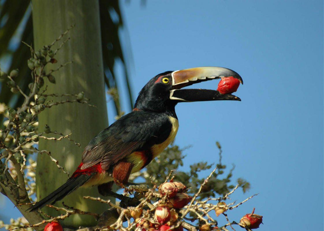 Pteroglossus torquatus - Collared Aracari - Araçari à collier - Fev 07 Photo by Philippe BOISSEL via FLickr