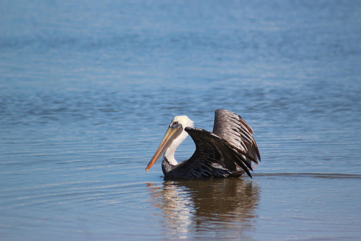 Brown Pelican Photo by Festive Coquette via Flickr Creative Commons