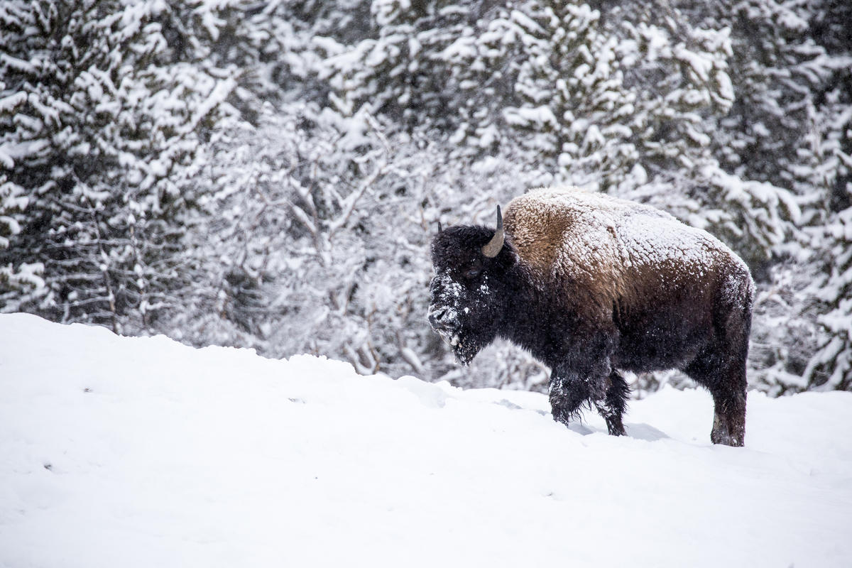 Bison Photo by anaxolotl via Flickr Creative Commons