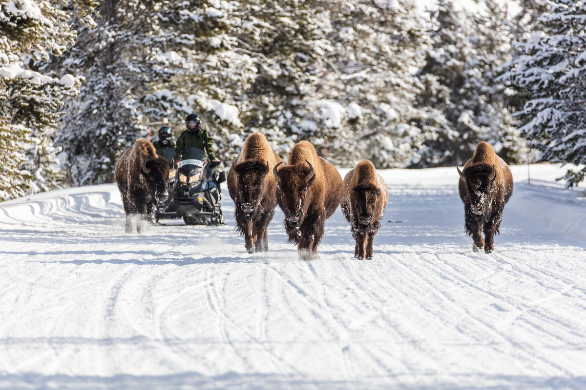 Snowmobiles Passing Bison on the Road by Yellowstone National Park via Flickr Creative Commons