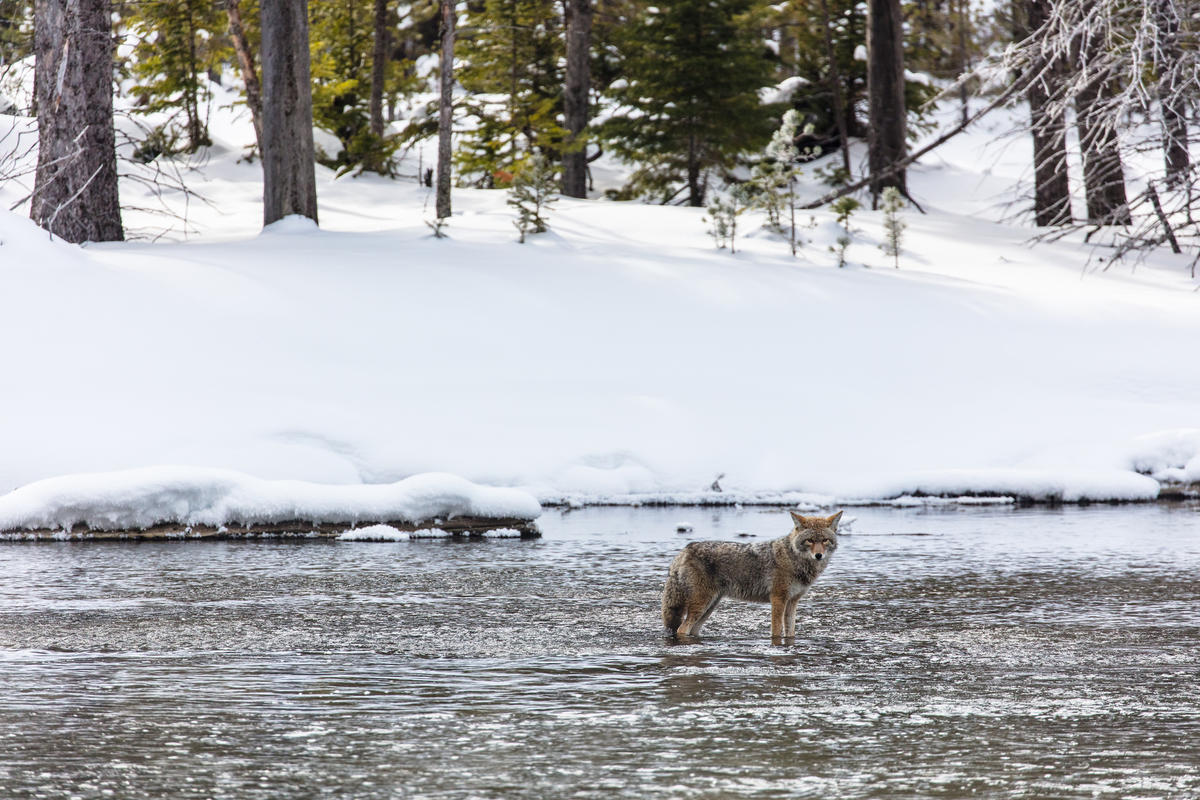 Coyote Fishing in Madison River by Yellowstone National Park via Flickr Creative Commons