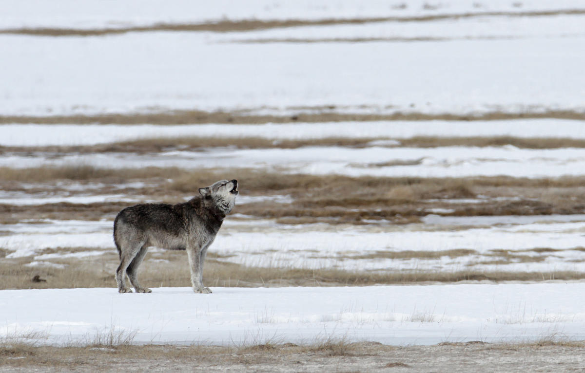 Alpha Male by Yellowstone National Park via Flickr Creative Commons