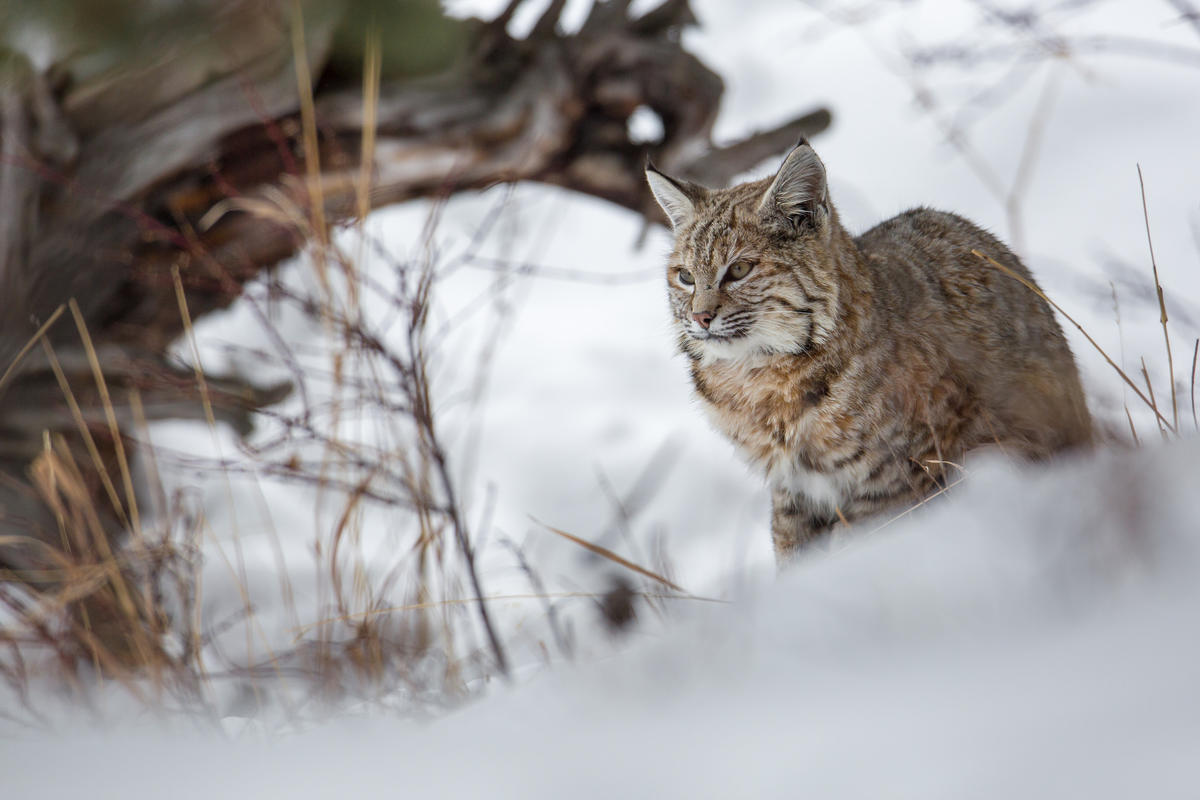 Bobcat Along the Madison River by Yellowstone National Park via Flickr Creative Commons