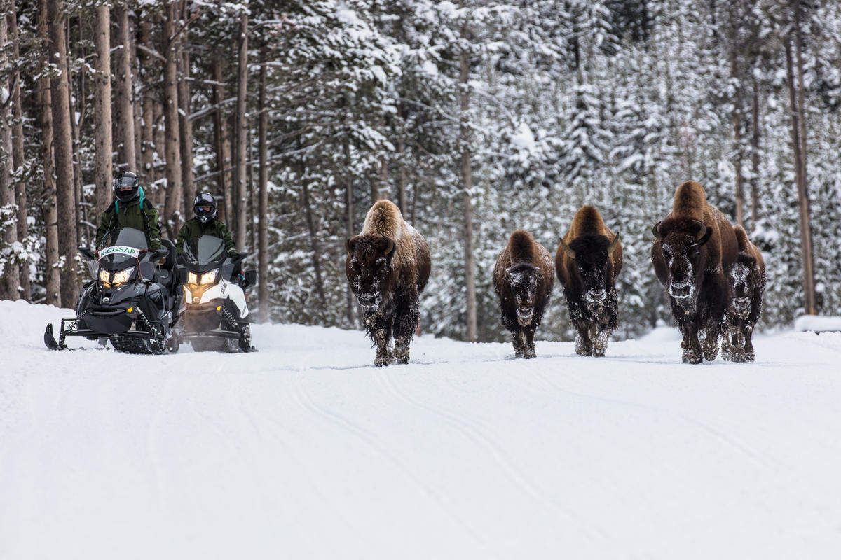Snowmobiles Passing Bison by Yellowstone National Park via Flickr Creative Commons