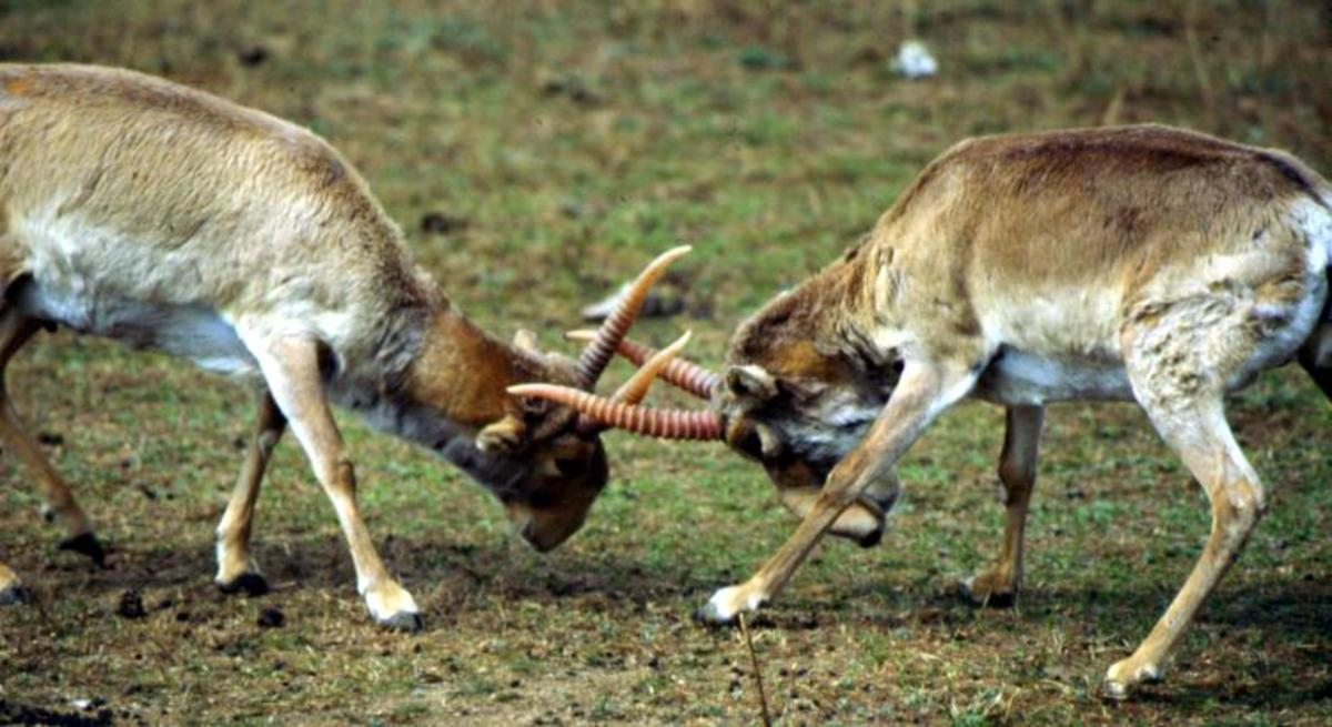 Saiga Fight 3 Photo by U.S. Fish and Wildlife Service via Flickr Creative Commons