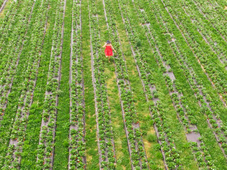 Edit strawberry field   girl running in field