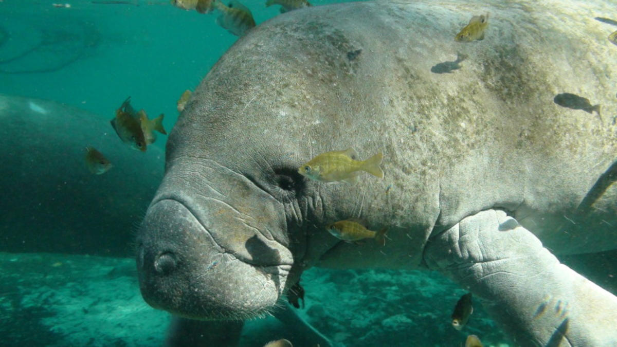 Endangered Florida manatee Photo by USFWS Endangered Species via Flickr Creative Commons