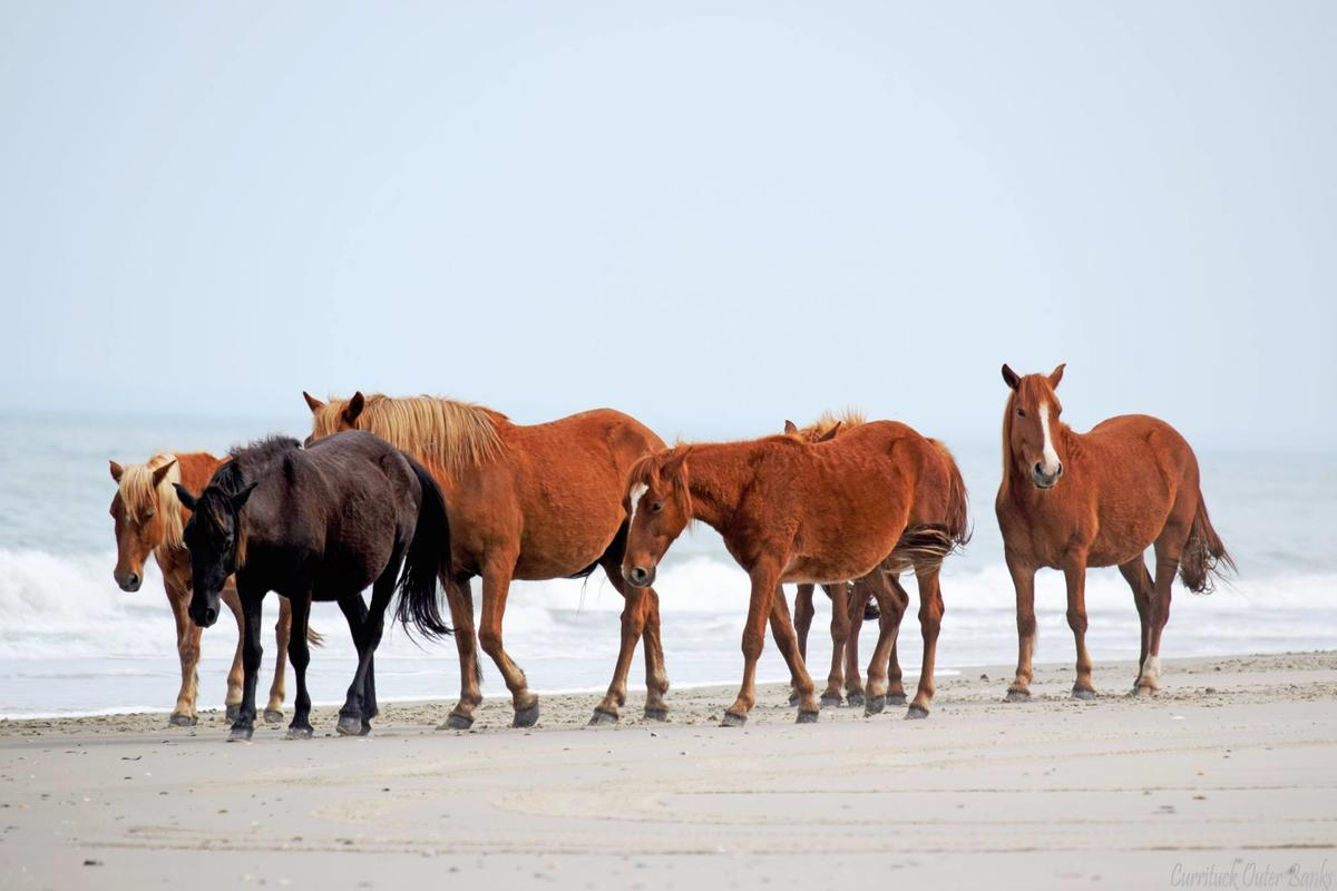 You Need To See The Corolla Wild Horses In Currituck County