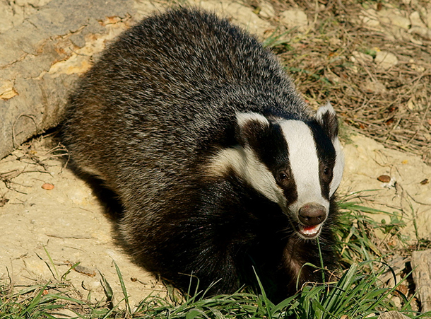 UK government approves badger culling in 2014.