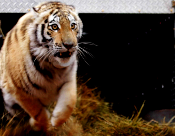 Zolushka was the first successfully rehabilitated cub to be reintroduced into th
