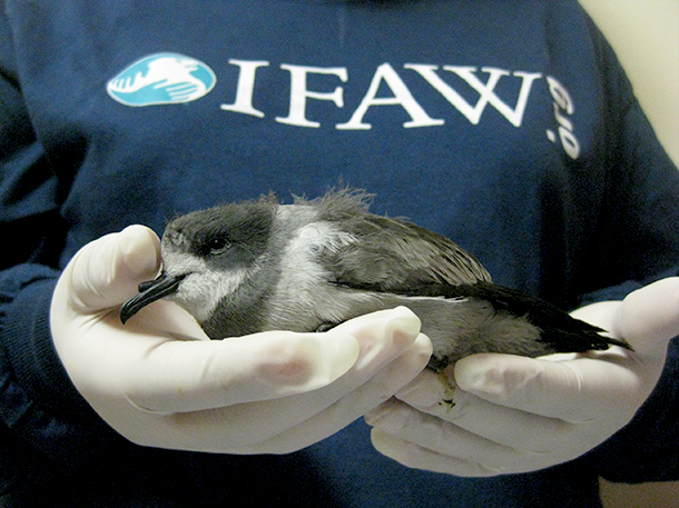 An IFAW Rescuer holding a grounded Ringed storm petrel