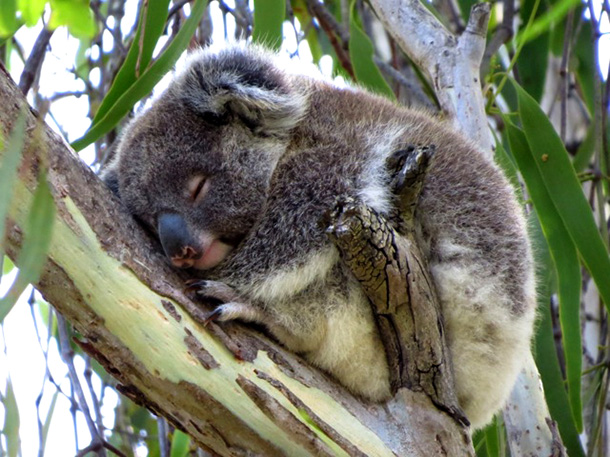 A koala settled in for a little nap. Photo: Friends of the Koala