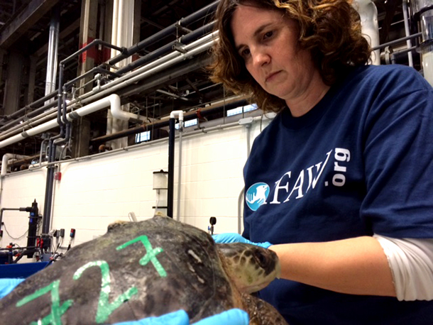 The author helping turtle #727 with its rehabilitation.