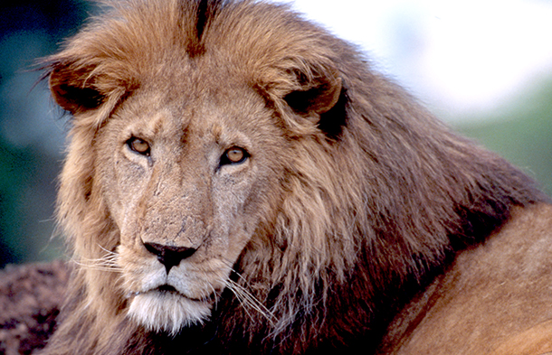 Until African lions are officially listed as a threatened species, it will be pe