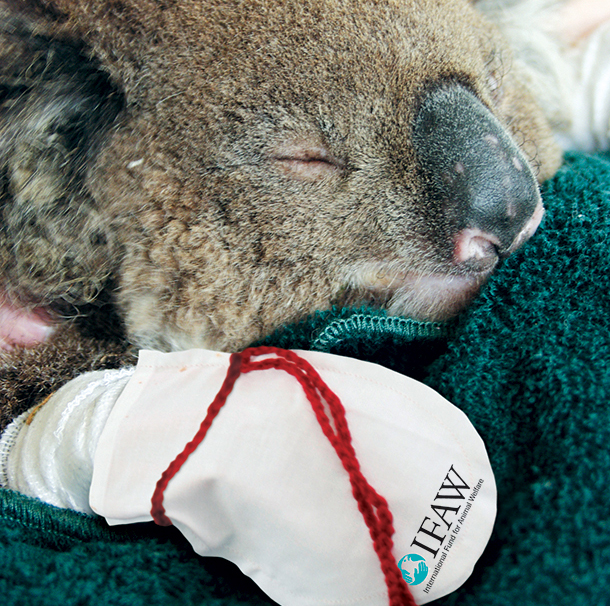 Once rescued koalas docile creatures who will sit still and let you treat them