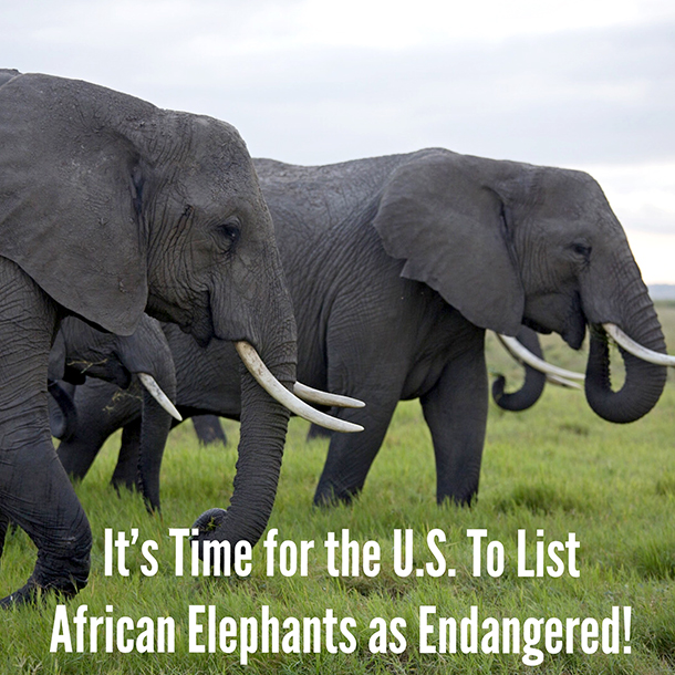 African elephants are in serious peril.
