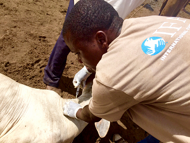 IFAW is vaccinating and treating cattle against the common diseases that wet con