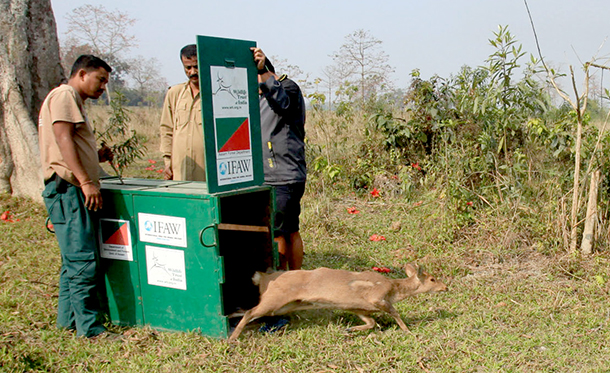 A hog deer that was released Agoratoli range of Kaziranga National Park.