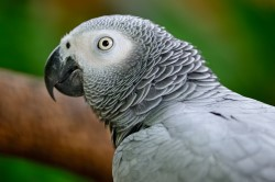 Squawking Result as CITES Places African grey Parrots top of the Protection Peck