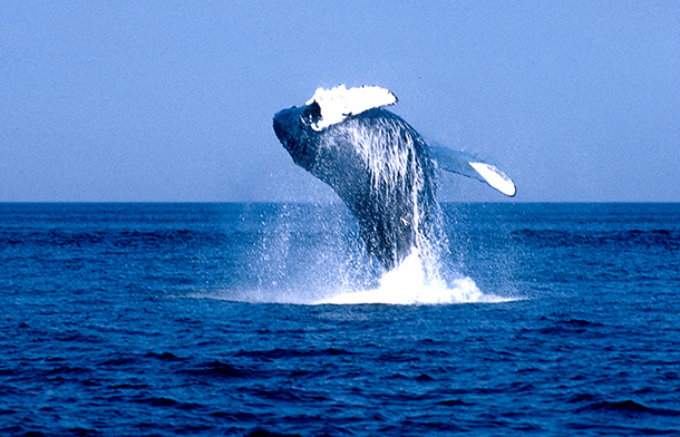 For the first time in more than a century, no commercial whaling is taking place