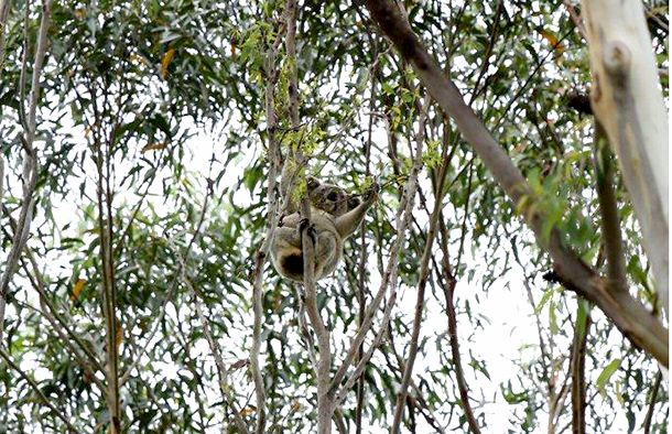 One of the Ballina 200 koalas threatened with extinction by the propsoed Pacific