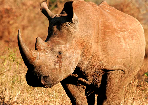 The past year has seen the numbers of poached rhinos soar, with South Africa los