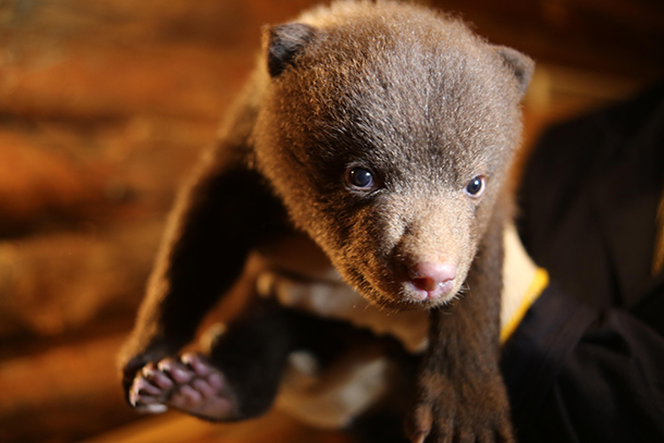 Seven orphaned bear cubs are now being rehabilitated at IFAW's Bear Rescue Cente