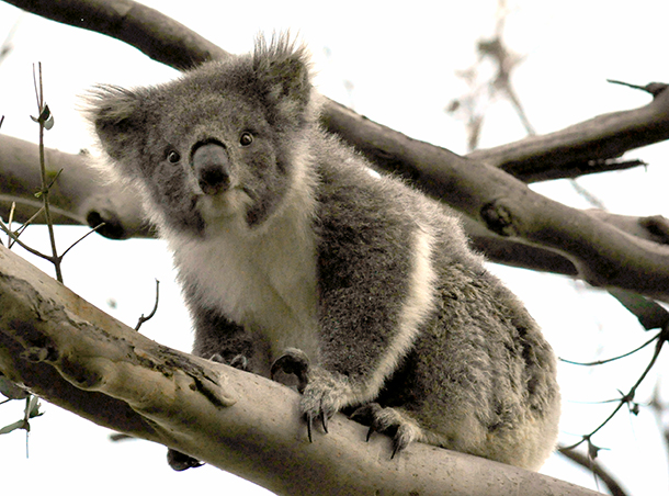 One of Cape Otway's koalas