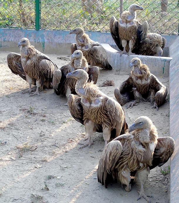 The IFAW-WTI run CWRC-MVS rescued 19 vultures in March