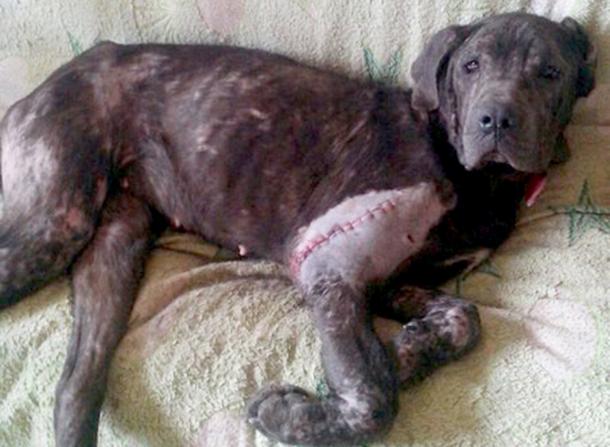 Hündin Aisya hat die Notoperation gut überstanden.