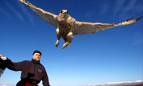 A rehabilitated Gyrfalcon goes back to the wild. Photo © IFAW