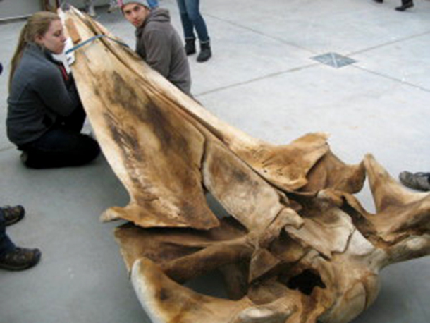 Two student volunteers, look at the inverted top half of a fin whale skull. Phot