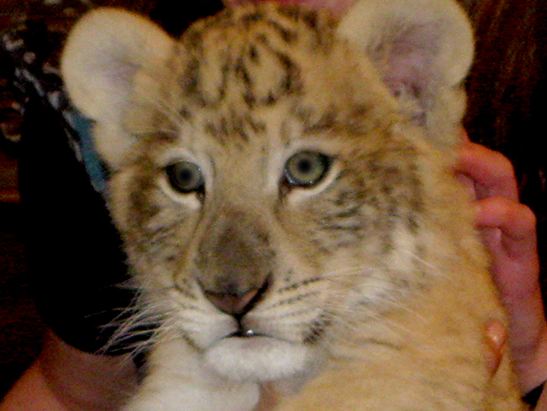 Cub handling exhibits exploit lion and tiger cubs.