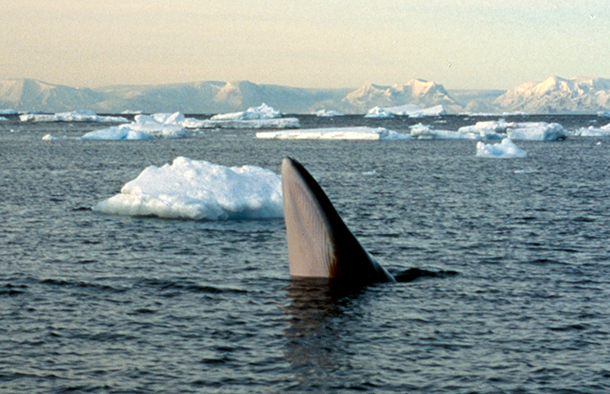 This year is the first in more than a century during which no whales were killed