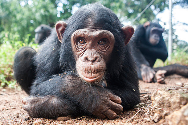 Ngamba Island Chimpanzee Sanctuary is home to 48 orphaned chimps.
