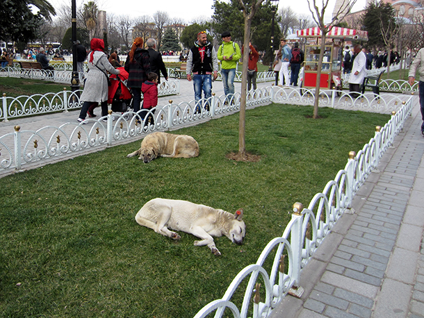 Dogs lounge on the grass in the park between the Blue Mosque and the Hagia Sophi