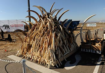 Partnering with US ivory crush in Denver, urging more countries to destroy their