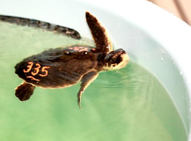 Des tortues marines en danger d'extinction bénéficient d'un coup de pouce salvat