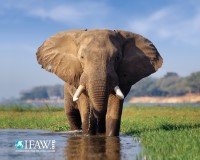 CITES Parties Fail to Agree on Stricter Measures to Protect Elephants