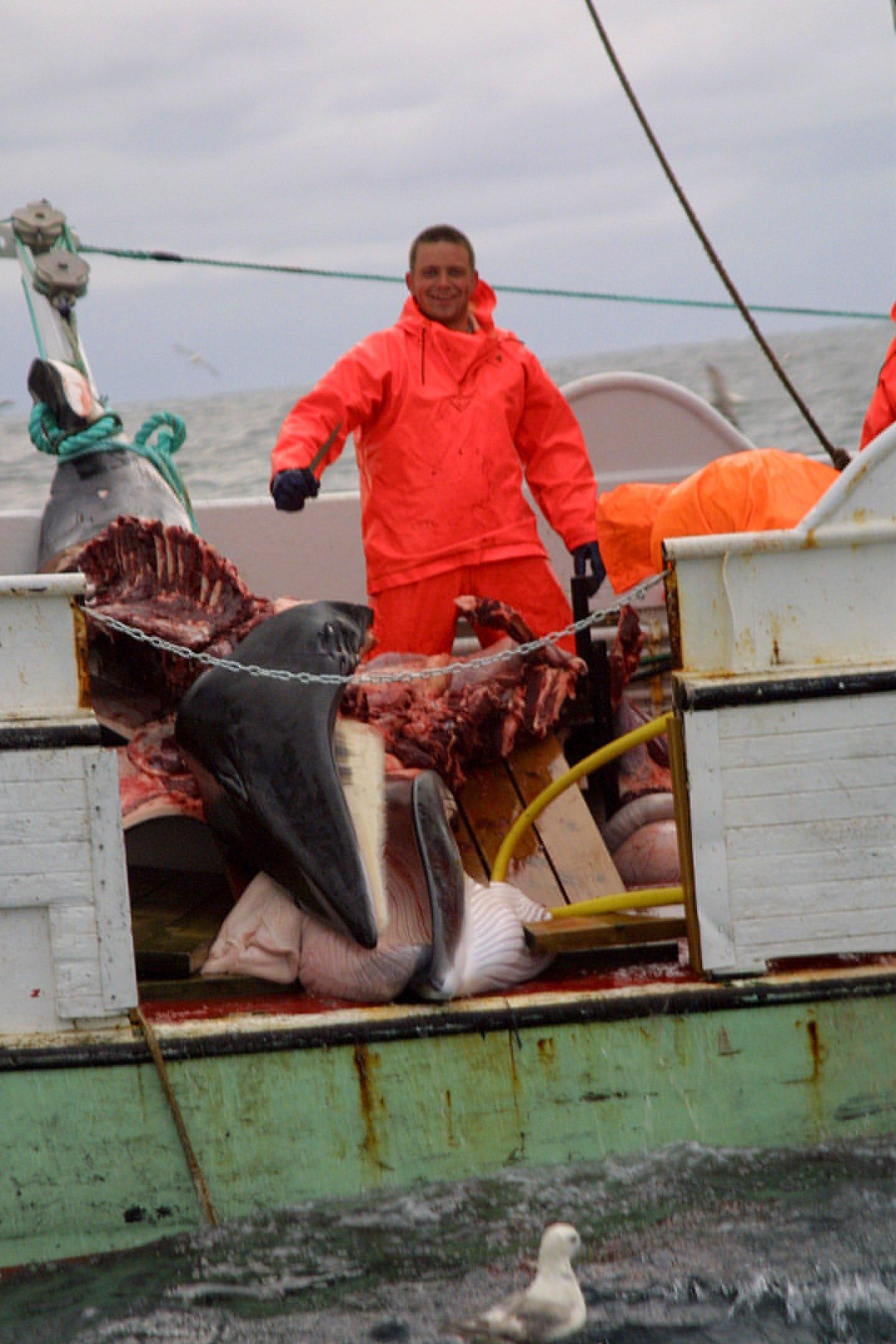Isländischer Walfänger mit zerlegtem Zwergwal