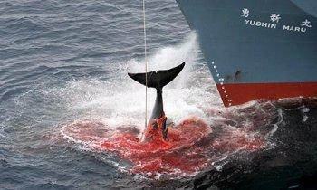 """国际捕鲸委员会大会投票加强世界法庭对日本在南海""""科研捕鲸""""的裁决"""