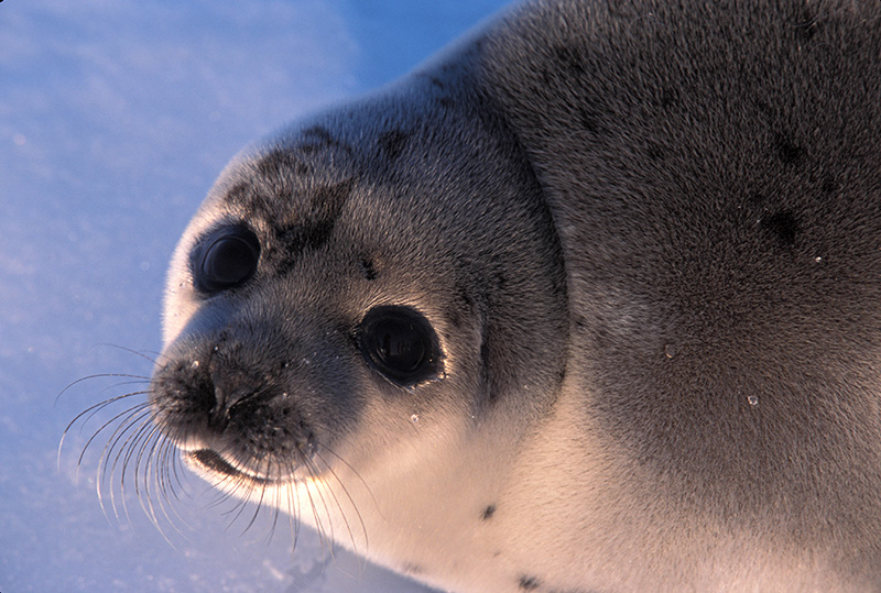 2014年商业海豹猎杀开始