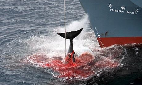 """国际法庭: 日本的""""科研""""捕鲸是违法的且必须终止"""