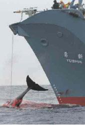 Auswirkungen des sogenannten wissenschaftlichen Walfangs Japans.