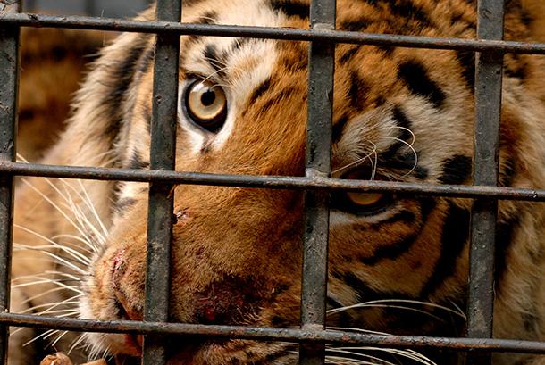 VIDÉO : Une tigresse capturée remise en liberté