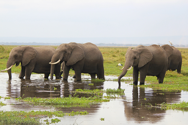 Keeping elephants wild: choosing not to intervene in the natural cycle of life