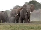Wildlife Advocates Seek Endangered Listing for African Elephants