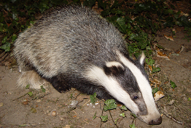 Familiar arguments in debate on unscientific badger cull