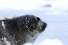 加拿大开始2013年商业海豹猎杀