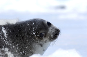 DFO covers up value of products from the 2014 commercial seal hunt